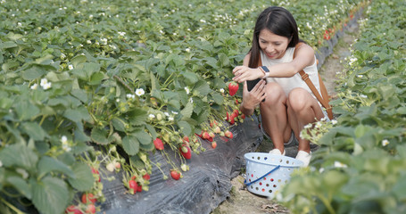 Woman taking photo with cellphone for her strawberry with field