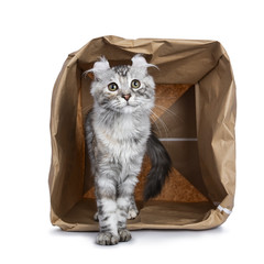 Smiling silver tortie American Curl cat kitten standing with backside in paper storage bag facing camera isolated on white background and looking at lens