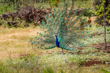 Peacock with open tail, Israel