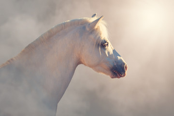 Portrait of white little pony horse isolated on the perlino gradient background