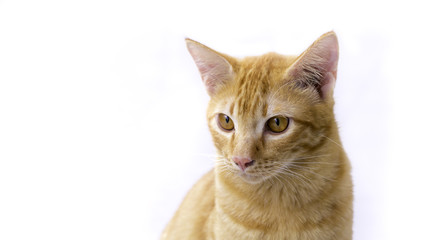 Thailand Cat lethargic. Cute cat, cat lying isolated white background with clipping path.
