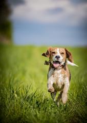 The dirty Beagle