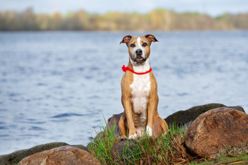 american pit bull terrier dog sitting on rocks by the river