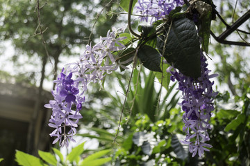 Beautiful of purple petrea volubilis flower nature background