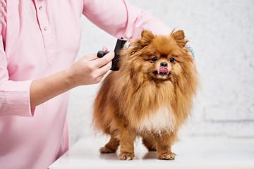Closeup of professional groomer combing little pomeranian spitz