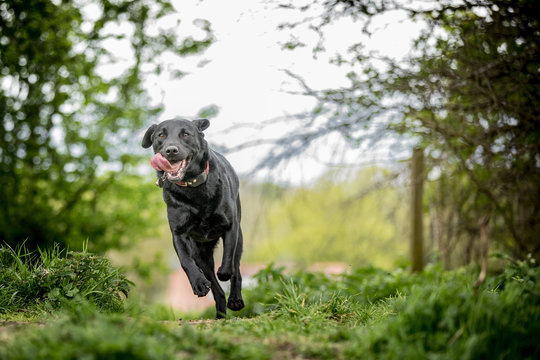 The Black Labrador