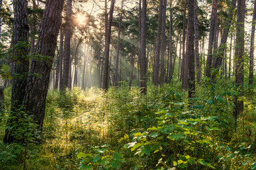 Bright sun rays shining through mighty tree trunks. Nature and wilderness concept. Tree background. Wood pattern. Wild forest concept.