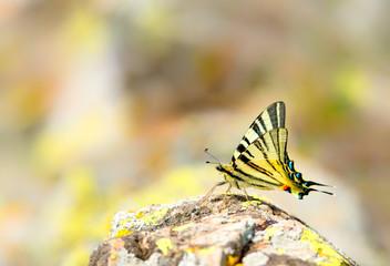 Iphiclides podalirius, scarce swallowtail butterfly on mountain rock