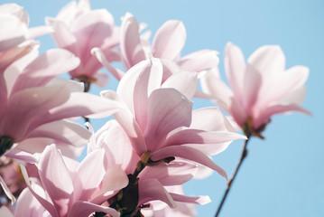 Magnolia tree blossom against blue sky