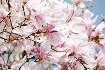 Spring pink magnolia blossom background