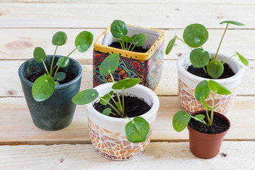 Pilea baby. Pilea peperomioides, money plant in the pot. Isolated. Wooden background.