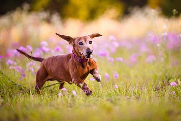Picture of a Wiener  dog running in the park on a warm sunny day