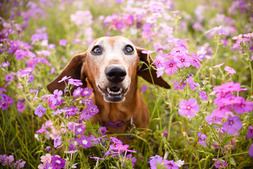 Wiener dog looking up from a filed or patch of purple flowers