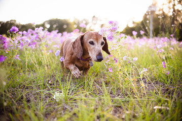 Cute dachshund dog brown in color on a field of purple flowers on a sunny summer day