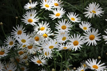 WHITE AND YELLOW SPRINGTIME DAISIES