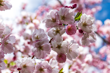 Sakura Flower or Cherry Blossom With Beautiful Nature Background.