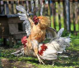 two bright rustic rooster fighting in the farm yard it is ridiculous to spread its wings and riding each other