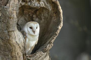 Barn owl_ Fototapete