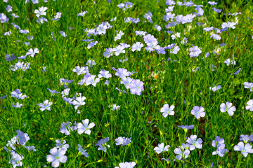 Field of flax (Linum perenne)