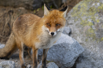 The fox in the High Tatras mountain region standing on a stone.
