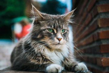 Portrait of Cat Maine Coon resting on stone wall Wall mural