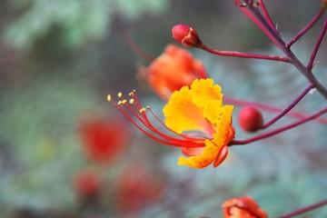 Closeup of Mexican Bird of Paradise flower