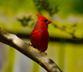 Cardinal Red Bird Close Up