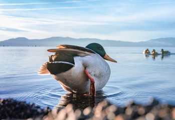 Duck sitting on the shore of a lake