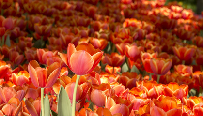 red tulips grow on a flower bed next to a green meadow