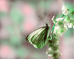 beautiful pastel tender spring composition. A butterfly on a branch with white flowers. Macro