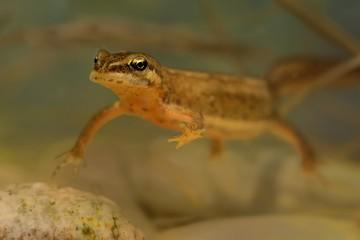 Smooth newt (Lissotriton vulgaris) swimming in water