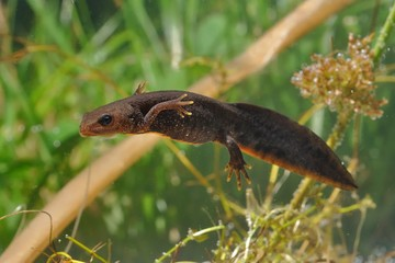 Great Crested Newt (Triturus cristatus) swimming in the water. Green background and water plants.