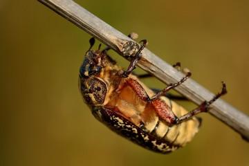 Polyphylla fullo - beetle