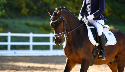 Horse brown in portraits during a dressage test, taken from diagonally in front of the neck in a gallop..