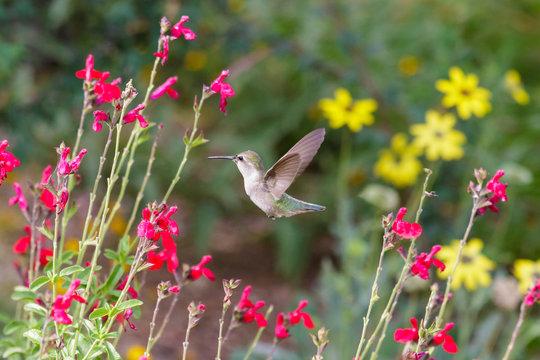Anna's Hummingbird hovering mid flight, feeding on bright red flowers, in Arizona's Sonoran desert.