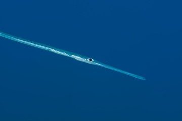 Portrait of Bluespotted Cornetfish (Fistularia commersonii) in the blue water background, Red Sea, Dahab, Egypt, Africa