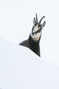 Chamois (Rupicapra rupicapra) in the snow, Portrait, Berchtesgaden Alps, Austria, Europe