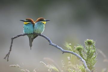 European bee eater birds perching on tree branch