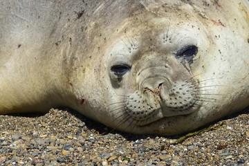 Southern elephant seal (Mirounga leonina), animal portrait, Isla Escondida, Chubut, Argentina, South America