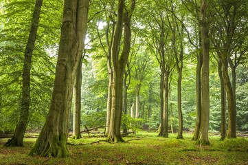 Beech primeval forest with deadwood, Jasmund National Park, Island of Rugen, Mecklenburg Vorpommern, Germany, Europe