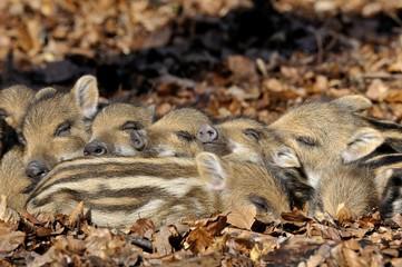 Wild boars (Sus scrofa), young rookies lying in foliage, sleeping, captive, North Rhine-Westphalia, Germany, Europe