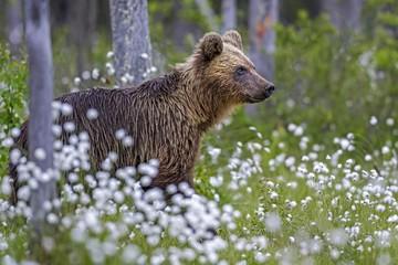 Brown bear (Ursus arctos) in woollen grass, Vartius, Karelia, Finland, Europe