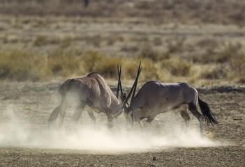 Gemsboks (Oryx gazella), fighting males, Kalahari Desert, Kgalagadi Transfrontier Park, South Africa, Africa