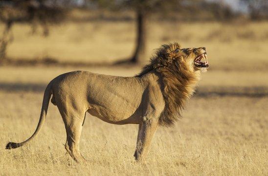 Side view of lion roaring on grassy landscape