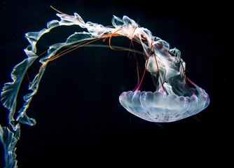 Illuminated purple-striped jellyfish (Chrysaora colorata), black background, captive