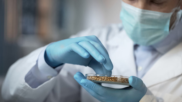 Food laboratory worker carefully checking quality of cereals harvest for export