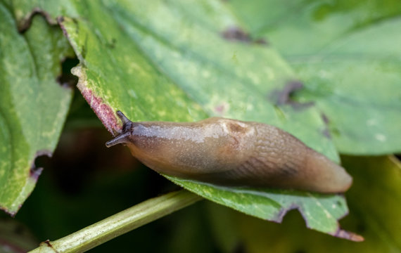 Slug creeps along the green leaf of the plant. Agricultural pest. Selective focus.