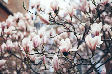 Branch of Magnolia tree. Magnolia blooms release their sweet floral lemony scent. The rich aroma drifts through the heat, enchanting southern towns.