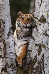 Sibirischer Tiger klettert