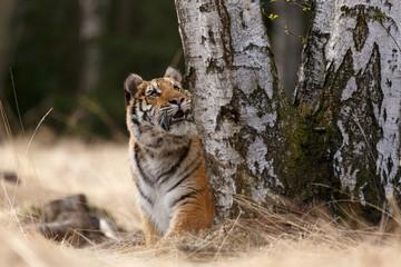 Sibirischer Tiger an einer Birke